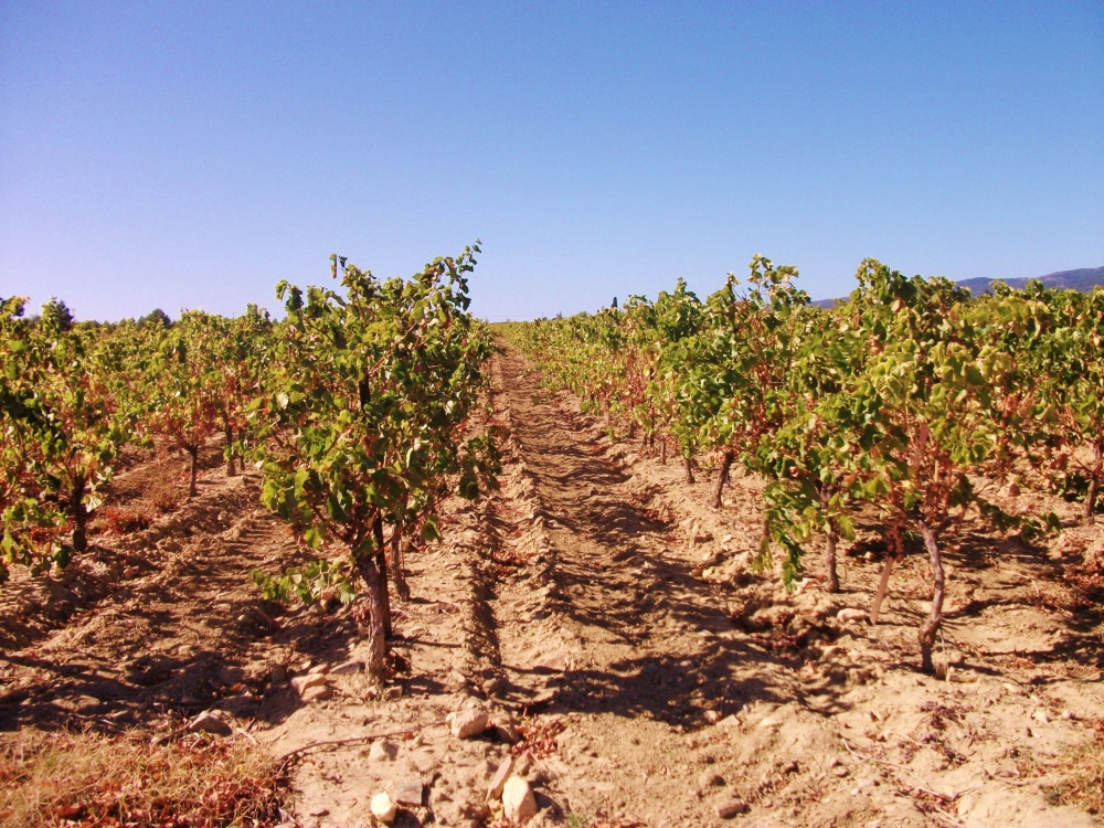 Grape vines bear the weight of France's scorching southern sun on their leafy shoulders as summer commences.